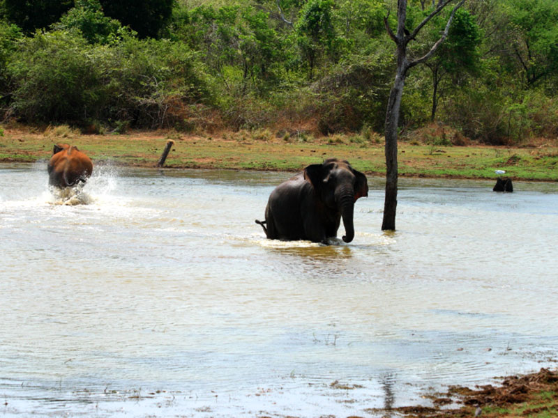 Day safari tour in Udawalawe National Park - Day tours to Udawalawe National Park - Udawalawe Day tours from Colombo - Colombo Udawalawe safari day tours - Safari Day tours in Sri Lanka - Safari Day tours from Colombo - Udawalawe day safari tours